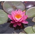 Нимфеягибридная,розовая, корневище