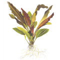Эхинодорус Розе (в горшке)