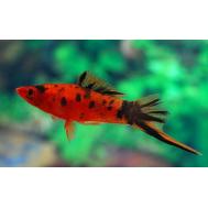 Меченосец красный ситцевый 4-5 см (Xiphophorus hellerii)