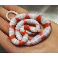 Молочная змея Нельсона альбино