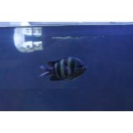 Рыба-сержант (Abudefduf sexfasciatus)