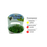 Глоссостигма повойничковая (Glossostigma elatinoides) меристемное