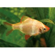 Барбус суматранский (Альбино)