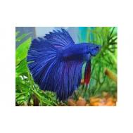 Петушок синий (самцы) 4-5см.