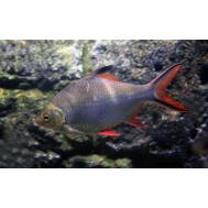 Барбус лещевидный краснохвостый
