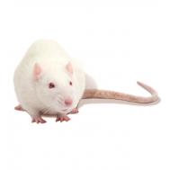 Крыса взрослая
