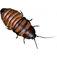 Мадагаскарский таракан 1 шт