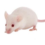 Мышь взрослая