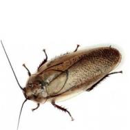 Мраморный таракан, 60 гр. (~100 шт)