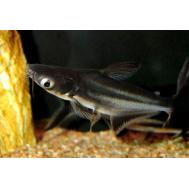 Сом акулий (пангасиус)