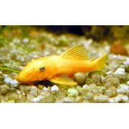 Сом анциструс золотой (Ancistrus dolichopterus)