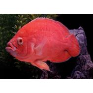 Астронотус красный (Astronotus ocellatus var. red) 6-7см.