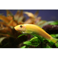 Гиринохейлус золотой (Gyrinocheilus aymonieri) 4-5см.