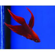Петушок красный (самцы)