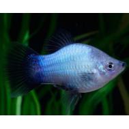 Пецилия голубая чернохвостая 3,5-4см.