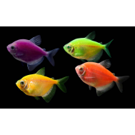 Тернеция (Glo-fish) Светящаяся, ассорти 2,5-3 см (Gymnocorymbus ternetzi)