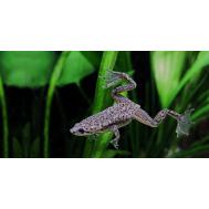 Лягушка карликовая аквариумная