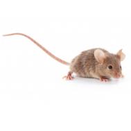 Мышь подросток