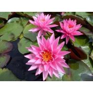 Нимфея Magnificent - розовый, крупный сорт, корневище