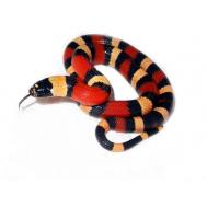 Молочная змея Кэмпбела Apricot