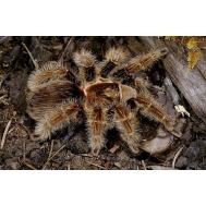Паук-птицеед Br. albopilosum, 3-4 линька