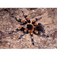 Паук-птицеед Br. smithi, 2-3 линька