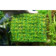 Ричия Флуитанс на пластине (аквадекор)