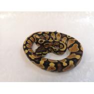 Королевский питон (Orange dream yellow belly), S