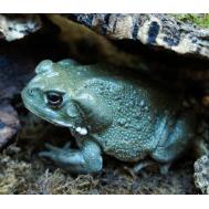Жаба колорадская, M