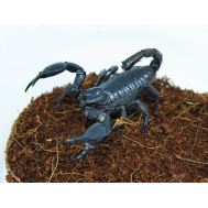 Скорпион гетерометрус спинифер, M