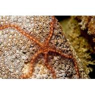 Офиура (Ophiuroidea sp.)