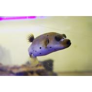 Аротрон черноточечный (Arothron nigropunctatus)