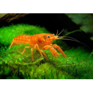Рак мексиканский карликовый оранжевый
