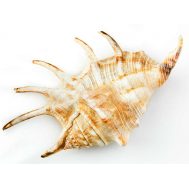 Морская раковина Ламбис-Ламбис XL