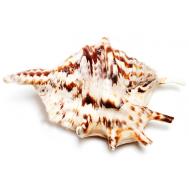 Морская раковина Ламбис Тигровый большой 16-17 см