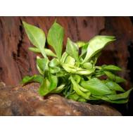 Альтернатера бетзикиана зеленая, с грузом
