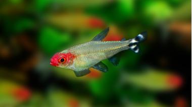 Родостомус или красноносая тетра (Hemigrammus rhodostomus)