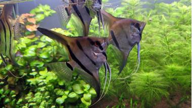 Влияние подмен воды в аквариуме на поведение скалярий
