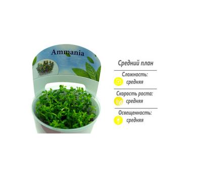 """Аммания Бонсай (Ammania sp. """"Bonsai"""") меристемное"""