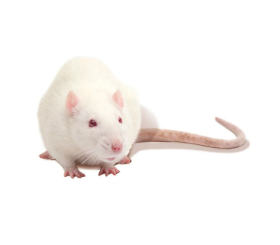Крыса большая