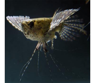 Пантадон (рыба-бабочка)