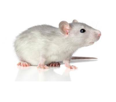 Крыса бегунок