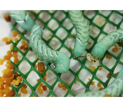 Гусеница табачного бражника 1шт