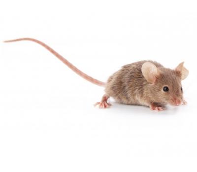 Мышь бегунок