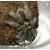 Паук-птицеед Br. Albopilosum, самка, 2.5 см