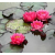 Нимфея James Brydon, розово-красная, проросшая