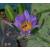 Нимфея Indian godess, розово-пурпурная, проросшая