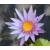 Нимфея Capensis, розовая, проросшая