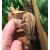 Геккон новокаледонский реснитчатый Pinstripe, L