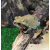 Жаба колорадская, S